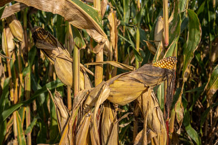 Close up of ripe yellow corn cobs ready to harvest