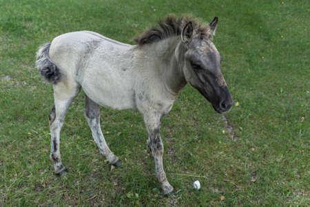 Foal of Polish primitive horse aka Konik aka Equus ferus caballus Zdjęcie Seryjne