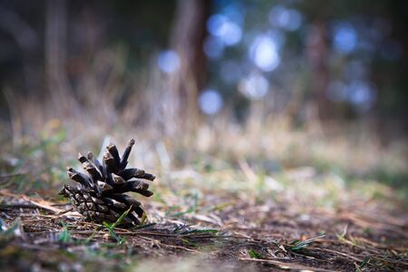 Pine cone lie on pins and needles on the ground in the forest