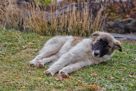 Big dog lying on the grass. Foto de archivo