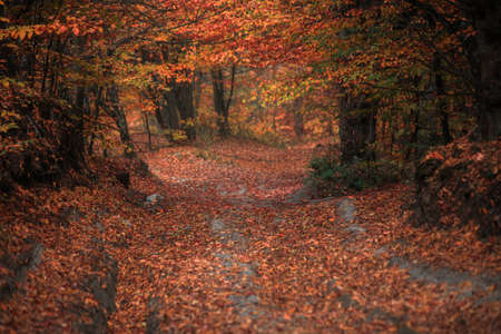 Forest path covered with vibrant fall foliage.