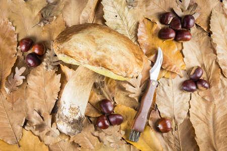 Boletus edulis mushroom and chestnuts on dry leaves background. Autumn Mushrooms. Gourmet Food. Mushroom Knife.