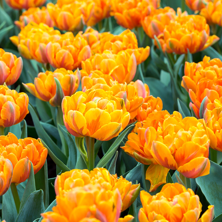 Orange color double early tulips