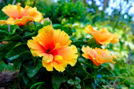 庭でカラフルなハワイアン ハイビスカス 写真素材