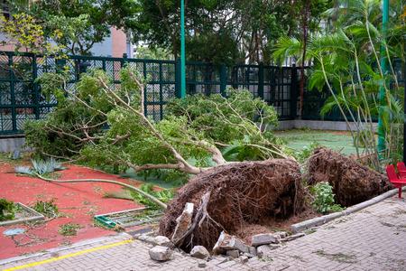 Fallen tree after typhoon in Hong Kong