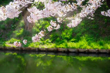 Cherry Blossoms And Sunlight In River