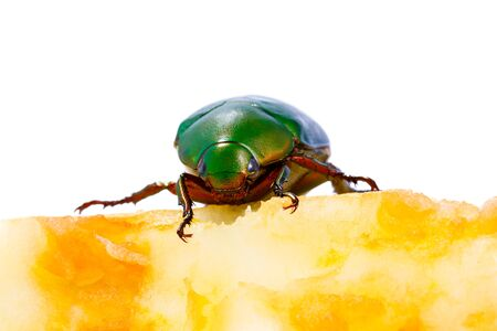 Chafer on apple core isolated on white background Standard-Bild