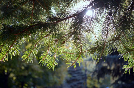 Branches of spruce. Sun. They hang down from above and let the rays pass through. 写真素材