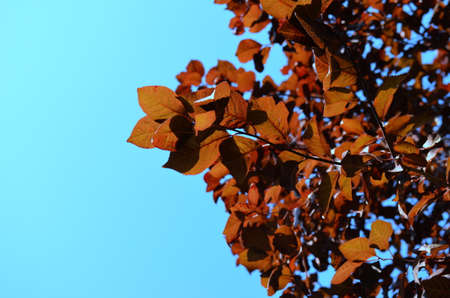 Red leaves against a blue sky. Autumn, leaf fall, season