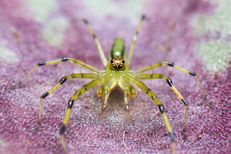 A green spider on a pink leaf.