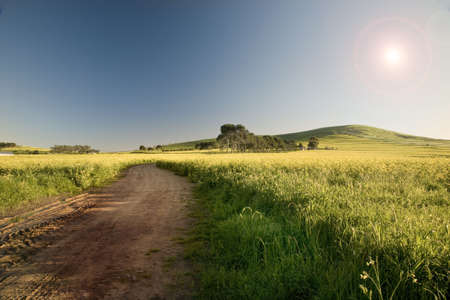 Wet dirt road running through canola fields on farm in Western Cape, near Cape Town, South Africa. Stock Photo