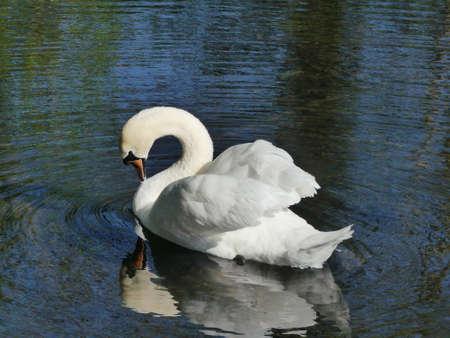 graceful: graceful swan