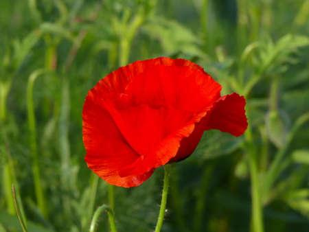 wonderful papaver flower
