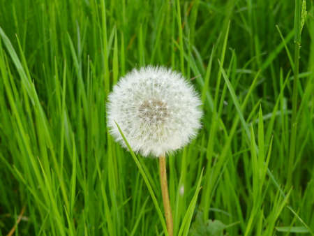 fantastic: fantastic dandelion