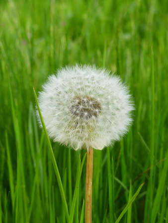 pretty dandelion Stock Photo