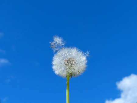 pappus: flying pappus