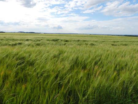 wide barley field Stock Photo