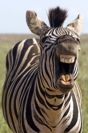 laughing: Laughing Zebra Stock Photo