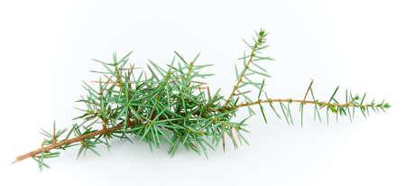 a juniper: Juniper ramita sobre un fondo blanco