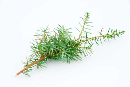 Juniper twig on a white background  Stock Photo