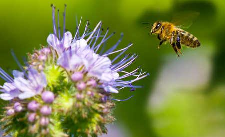 Honeybee vol � Phacelia Banque d'images