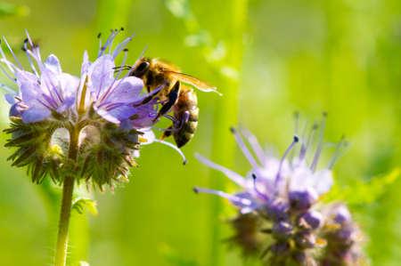 miel de abeja: Abeja  Foto de archivo