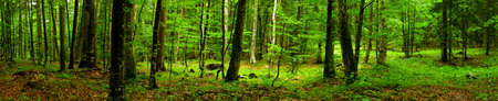 Deep forest Panorama  Stock Photo
