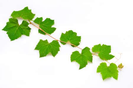 vine leaves: Grape leaves Stock Photo