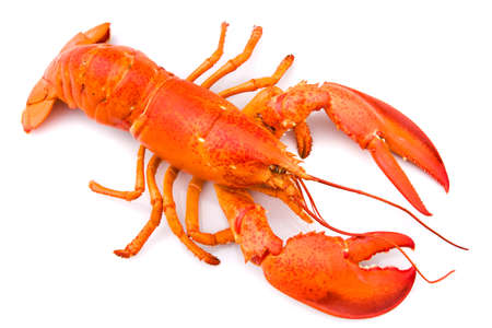 lobster isolated: Lobster