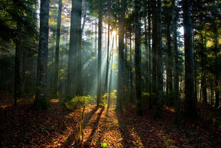foresta: Sole che splende attraverso albero nella foresta