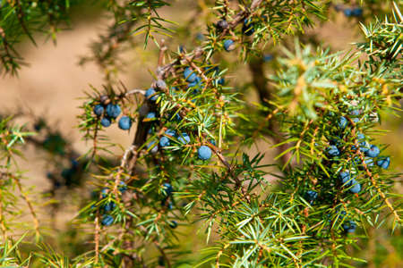 Juniper twig and berries   Фото со стока