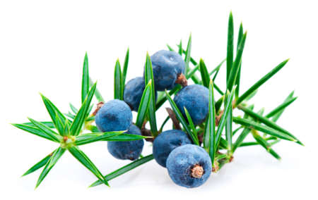 Juniper berry  Stock Photo - 12444435