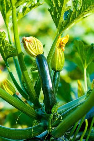zapallitos: Org�nica Zucchini