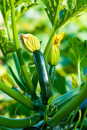 Organic Zucchini   photo