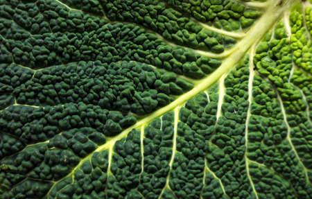 savoy: Savoy cabbage Stock Photo