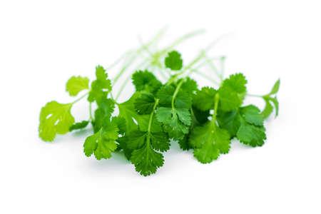 cilantro: cilantro fresco deja en blanco.