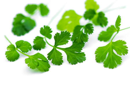 curly leafed: Fresh coriander leaves over white. Stock Photo