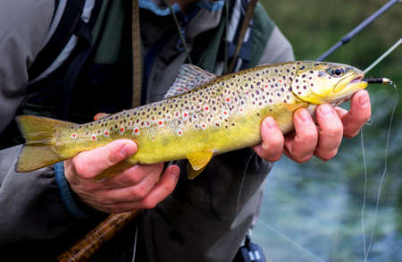 brown trout: Brown Trout Stock Photo