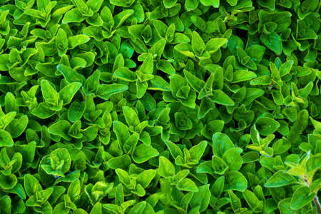 Fresh marjoram herb background