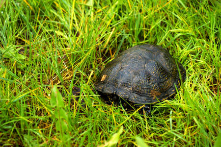 terrapin: The European pond terrapin  Emys orbicularis