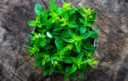 Fresh herb marjoram  on wooden background Stock Photo