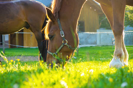 gelding: Horse eating grass in a meadow. close-up Stock Photo