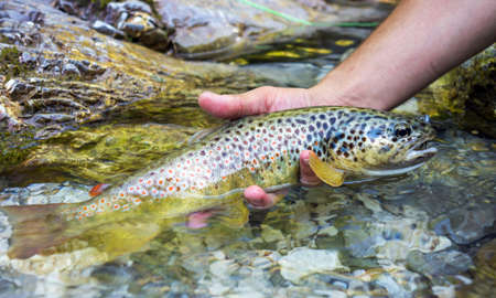 brown trout: Fly fisherman holding brown trout