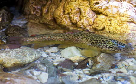 marinelife: Brown Trout (Salmo Trutta) in a mountain river Stock Photo