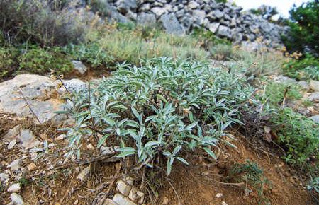 perfumed: Mediterranean medical herb sage