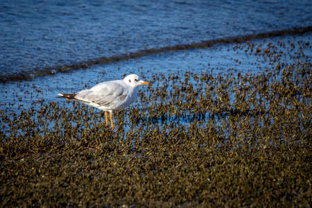 wild Seagull Standard-Bild