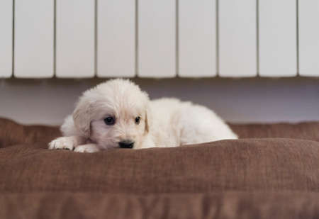 Beautiful puppy of Golden Retriever breed on the sofa at home
