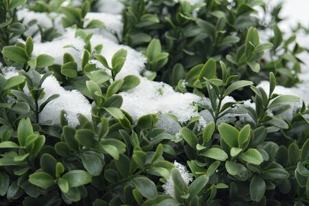 snow-dusted green Bush Stock Photo