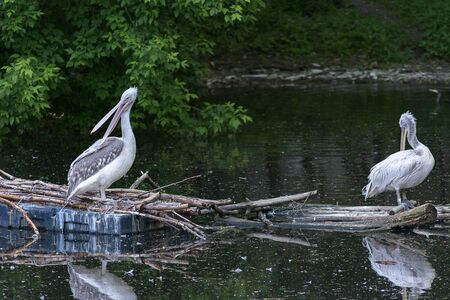 pelicans in the pond, birds on the water surface