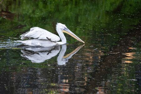 pelicans in the pond, birds on the water surface Banco de Imagens - 138134400